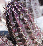 Fendleri Hedgehog Cactus Stock Photography