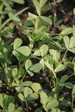 Fenegriek, Trigonella-foenum-graecum Stock Afbeelding