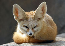 Fenek Fox Obrazy Royalty Free