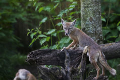 Fenek Fox na beli zdjęcie royalty free