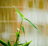 Feng Shui. Abstract background etail of a bamboo plant against a bamboo mat stock photo