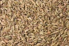 Fenhel seeds Stock Image