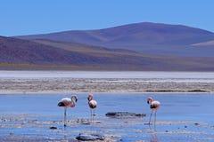Fenicotteri andini, andinus di phoenicoparrus, alimentantesi a Laguna De Mulas Muertas vicino a Paso Pircas Negras, Argentina immagine stock libera da diritti