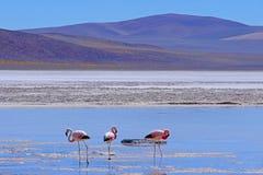 Fenicotteri andini, andinus di phoenicoparrus, alimentantesi a Laguna De Mulas Muertas vicino a Paso Pircas Negras, Argentina fotografia stock libera da diritti