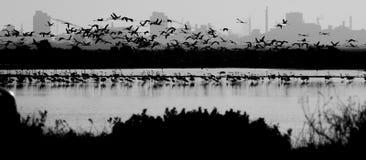 Fenicotteri in bianco e nero immagini stock libere da diritti
