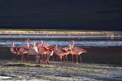 Fenicotteri in Bolivia fotografie stock