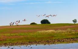 Fenicotteri che decollano dalla laguna Fotografie Stock