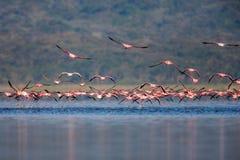 Fenicotteri che volano sul fiume in Africa fotografia stock
