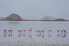 Fenicotteri del lago Natron Fotografie Stock Libere da Diritti