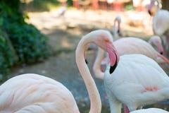 Fenicotteri dentellare al giardino zoologico Immagini Stock Libere da Diritti