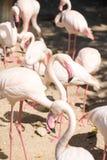 Fenicotteri dentellare al giardino zoologico Fotografie Stock