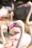Fenicotteri dentellare al giardino zoologico Fotografia Stock Libera da Diritti