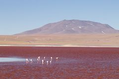 Fenicotteri di Laguna Colorada, Bolivia immagine stock libera da diritti