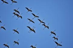 Fenicotteri di volo Fotografia Stock