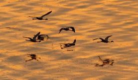 Fenicotteri di volo sopra l'acqua dorata del lago Natron al tramonto fotografia stock libera da diritti