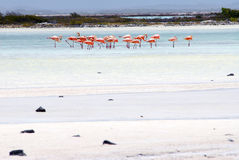 Fenicotteri il Bonaire Immagine Stock Libera da Diritti