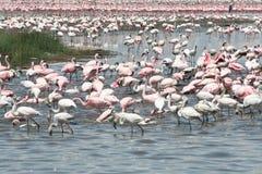 Fenicotteri, Kenia Immagini Stock
