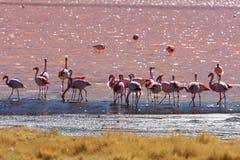 Fenicotteri in lago dentellare in Bolivia Fotografia Stock Libera da Diritti