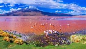 Fenicotteri a Laguna Colorada, Uyuni, Bolivia fotografia stock libera da diritti
