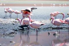Fenicotteri a Laguna Hedionda, Bolivia Immagini Stock
