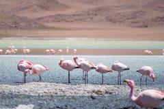 Fenicotteri a Laguna Hedionda, Bolivia Immagine Stock Libera da Diritti