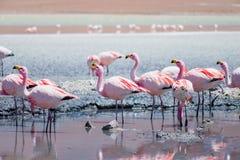 Fenicotteri a Laguna Hedionda, Bolivia Fotografia Stock