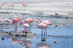 Fenicotteri a Laguna Hedionda, Bolivia Fotografie Stock
