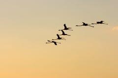 Fenicotteri nel cielo Fotografia Stock