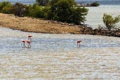 Fenicotteri nel Curacao Fotografia Stock Libera da Diritti