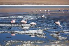 Fenicotteri nel lago della montagna di Salar de Uyuni Immagine Stock