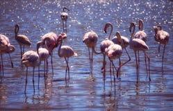 Fenicotteri nell'acqua al Camargue in Francia Immagini Stock Libere da Diritti
