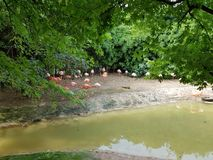 Fenicotteri nello zoo fotografie stock libere da diritti