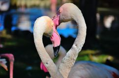 Fenicotteri quasi che baciano Immagine Stock Libera da Diritti