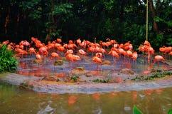 Fenicotteri rosa Fotografie Stock Libere da Diritti