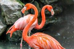 Fenicotteri rosa fotografia stock