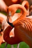 Fenicotteri rosa Immagini Stock Libere da Diritti