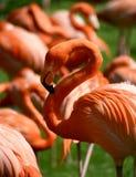 Fenicotteri rosa Immagini Stock