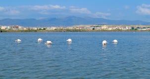 Fenicotteri rosa che mangiano, davanti alla città di Cagliari, la Sardegna, Italia video d archivio