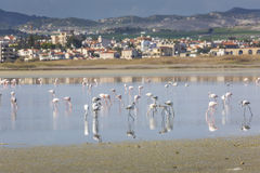 Fenicotteri rosa e grigi nel lago del sale di Larnaca, Cipro Immagini Stock Libere da Diritti