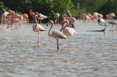 Fenicotteri rosa nel loro habitat naturale Immagine Stock Libera da Diritti