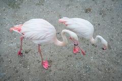 Fenicotteri rosa nel selvaggio Fenicottero dei giochi di datazione Immagini Stock Libere da Diritti