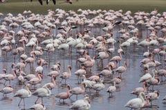 Fenicotteri rosa nella baia di Walvis, Namibia Fotografia Stock Libera da Diritti