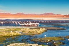 Fenicotteri rosa su Laguna Colorada, Altiplano, Bolivia fotografia stock libera da diritti