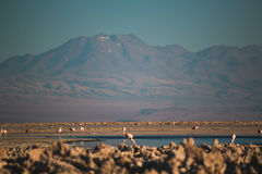 Fenicotteri in Salar de Atacama Immagini Stock Libere da Diritti