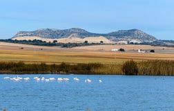 Fenicotteri selvaggi nella laguna Petrola Fotografia Stock Libera da Diritti