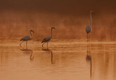 Flamingos. Fenicotteri selvatici all'alba italy toscana stock photography