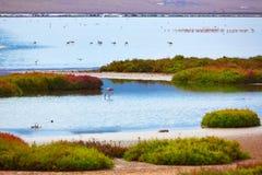Fenicotteri Spagna di Cabo de Gata Almeria delle saline di Las Immagini Stock Libere da Diritti