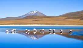 Fenicotteri su Laguna Celeste, Bolivia immagine stock