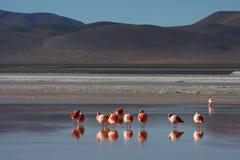 Fenicotteri su Laguna Colorada Fotografie Stock Libere da Diritti