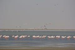 Fenicotteri su poca spiaggia di Rann Immagini Stock